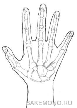 Кости рук