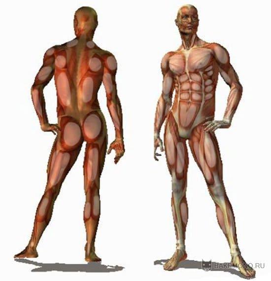структуры мышц