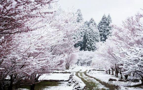 Цветение сакуры в снегу