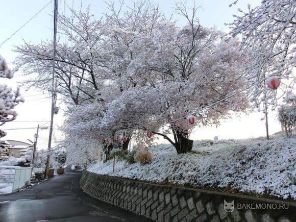 Фото цветения сакуры в снегу