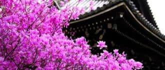 Цветение красивой сакуры